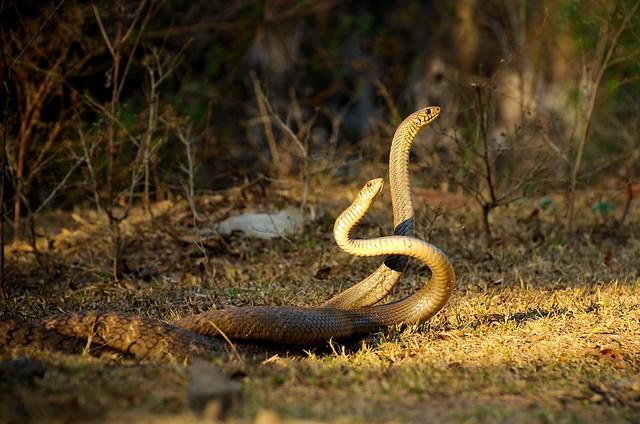 Cobra Mating