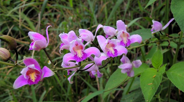 Wild orchids by bryandkeith on flickr