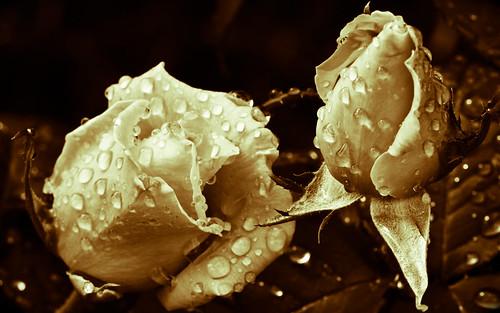 roses rose rosa róża excelllentsflowers vigilantphotographersunite vpu2 vpu3 vpu4 vpu5 vpu6 vpu7 vpu8 vpu9 vpu10