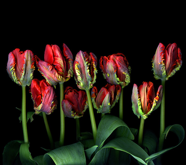 ANOTHER SONG AND DANCE of TULIPS...