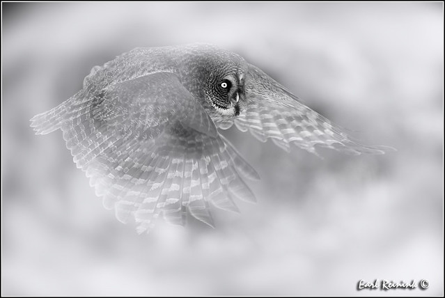 Great Gray Owl (20130301-2081a)