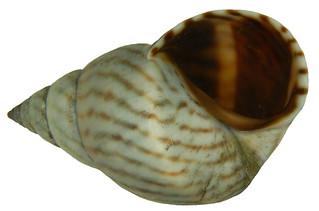 Littorina ziczac (Gmelin, 1791)