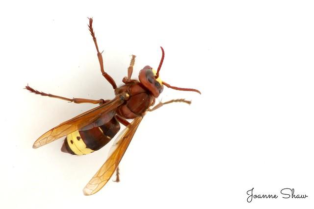 Oriental hornet  N IMG_8178