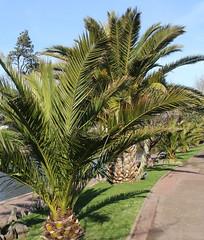 Row of Date Palms