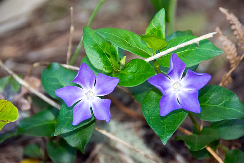 greater periwinkle Vinca major