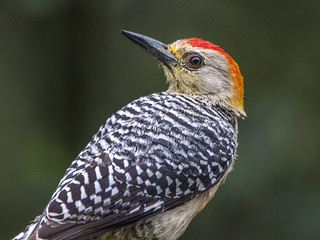 Red-crowned woodpecker | by PriscillaBurcher