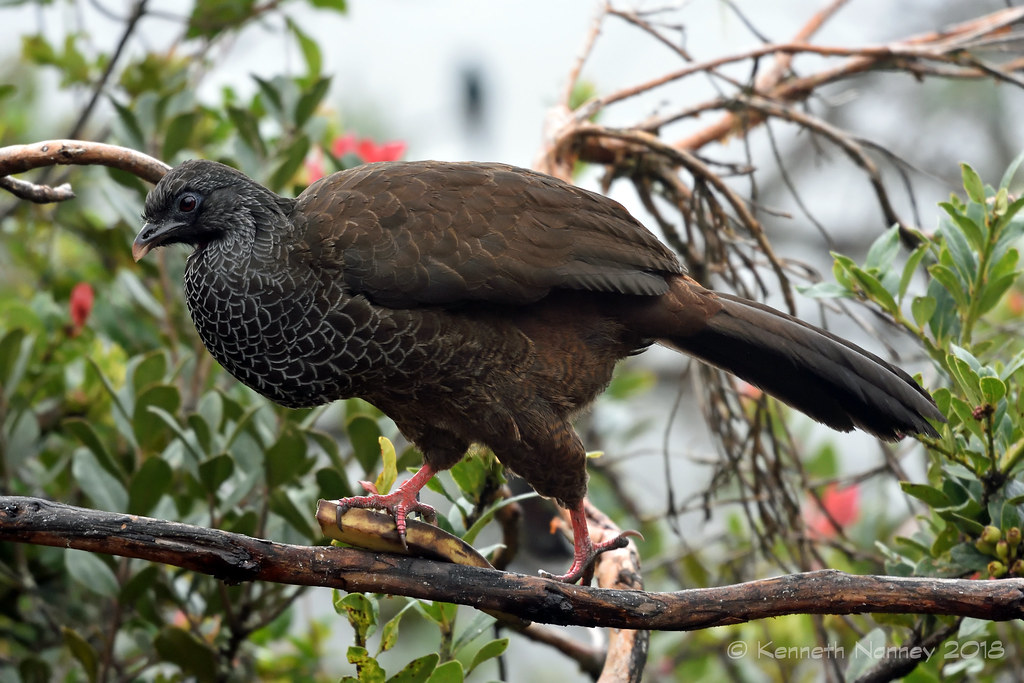 ANDEAN GUAN 3
