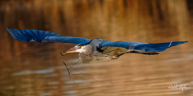 Male Great Blue Heron Delivering Nesting Material