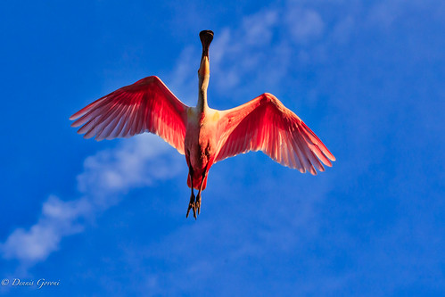 action background bird flight florida spoonbill staugustine sunset wildlife unitedstates us