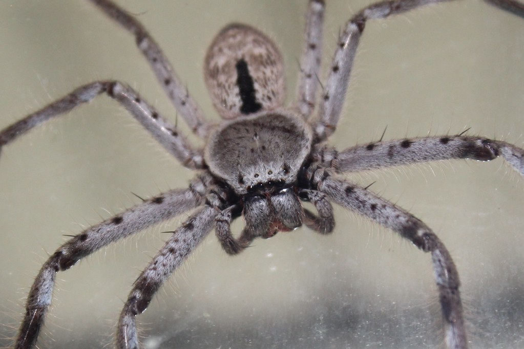 Huntsman (Australia) | A Close up of an Australian Huntsman