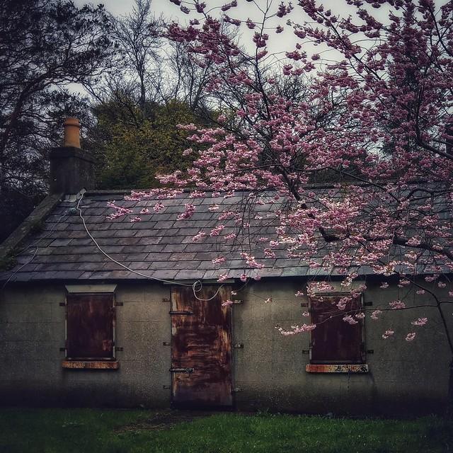 ... Cherry Blossom time...