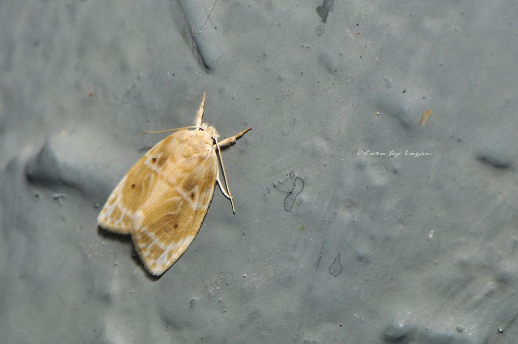 _DSC0199 珠苔蛾 Schistophleps bipuncta Hampson , 1891 | Flickr