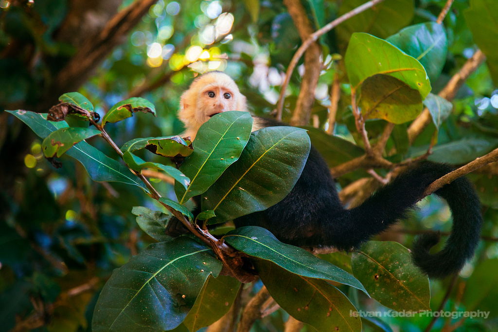Lurking | Capuchin Monkeys live in low-lying forests, in pri