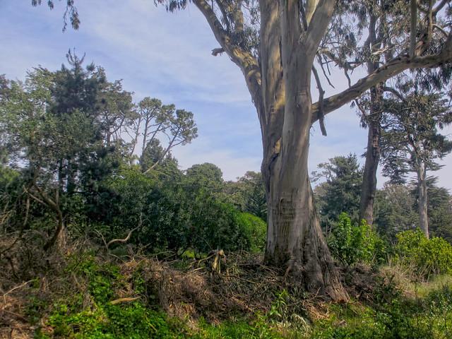 Eucalyptus tree in Golden Gate Park, San Francisco.  April 13, 2013