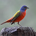 Painted Bunting - Photo (c) Ralph Arvesen, some rights reserved (CC BY-NC)