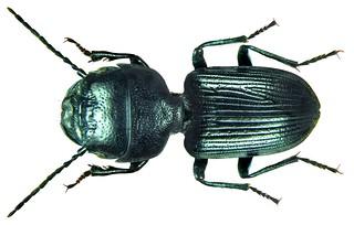 Dixus clypeatus P.Rossi, 1790