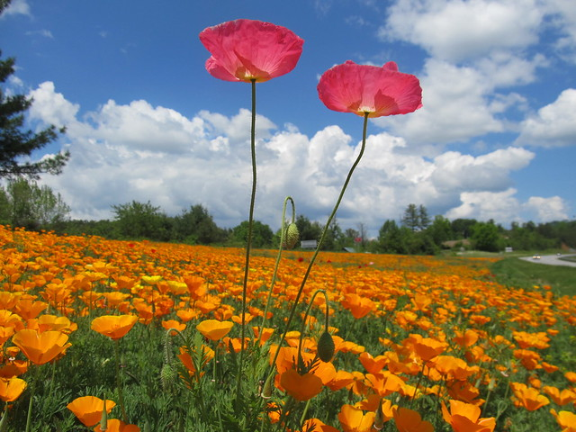 a field of poppies ...
