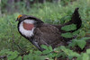 Dusky Grouse (Dendragapus obscurus) by Ron Winkler nature
