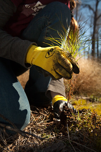 Sapling being planted