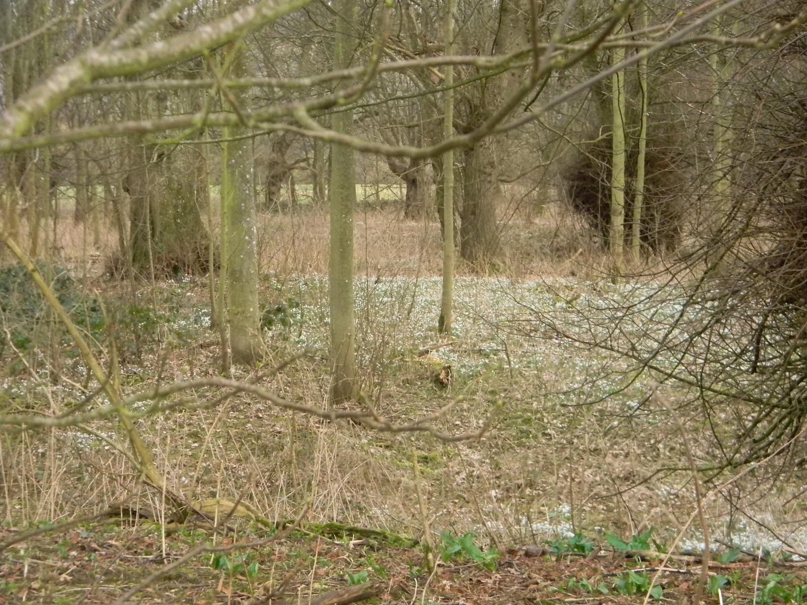 Snowdrops, Godmersham Chilham Circular