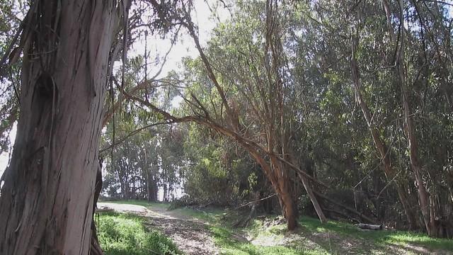 MVI_7104 monarch butterflys in sun under eucalyptus trees Goleta grove