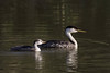 Mom and chick, Western grebe (Aechmophorus occidentalis) by Ron Winkler nature