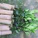 Cultivar Panatola 126