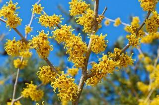 Vernal Witch-hazel (Hamamelis vernalis) in Flower   by Distant Hill Gardens