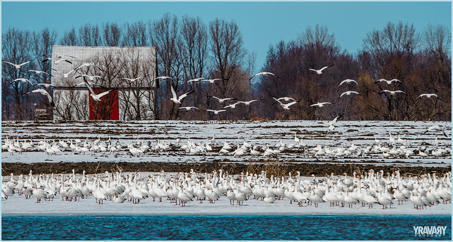 Oies Blanches / Snow Geese / chen caerulescens