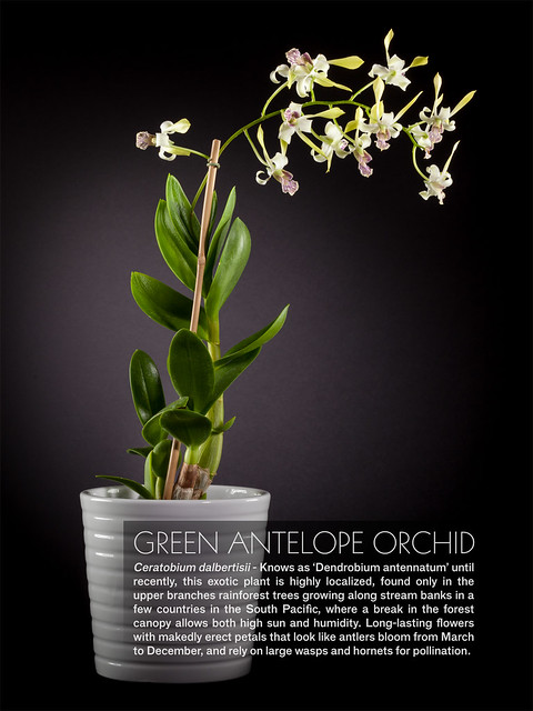Green Antelope Orchid