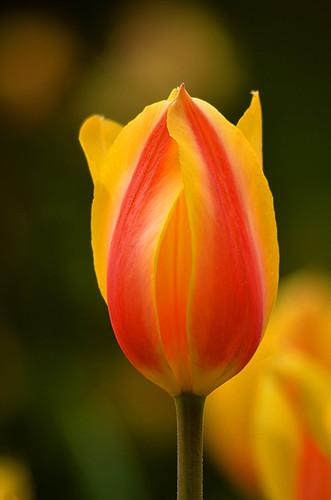 Longwood Tulips -05 Kathy   by KathyCat102