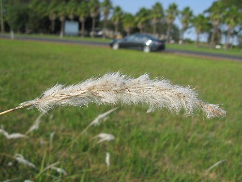 Imperata cylindrica Tomakin flowerhead1 | by Macleay Grass Man