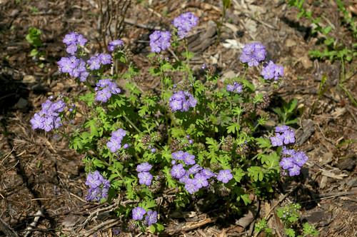 blue hairy flower purple spotted phacelia boraginaceae phaceliahirsuta