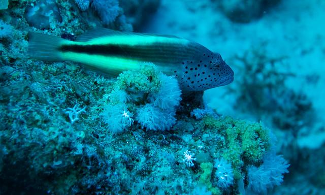 Freckled Hawkfish, Paracirrhites forsteri, Jackson reef, Red sea