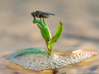 Fly on a water plant with bubbles | by Ivan Radic