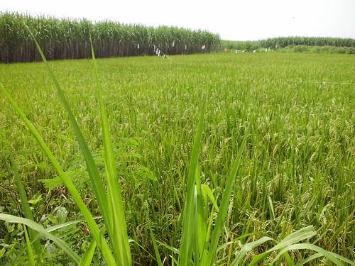 landscape poaceae tubo sugarcane tebu suikerriet taxonomy:family=poaceae geo:country=indonesia taxonomy:binomial=saccharumofficinarum palawija nelindah benqac100 polowijo