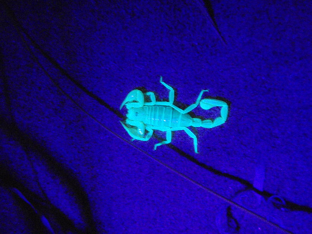 Scorpion on sand at Kelso Dunes under UV illumination