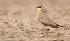 Oriental Pratincole / Grasshopper-Bird / Swallow-Plover, Hyderabad, India by Deven Saoji