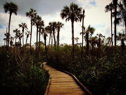 nature walking landscape state florida palmtrees trail hammock boarkwalk royalpalms swfl colliercounty collierseminolestatepark