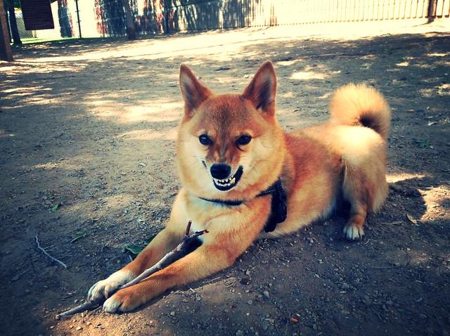 taro shiba, looking super fierce*