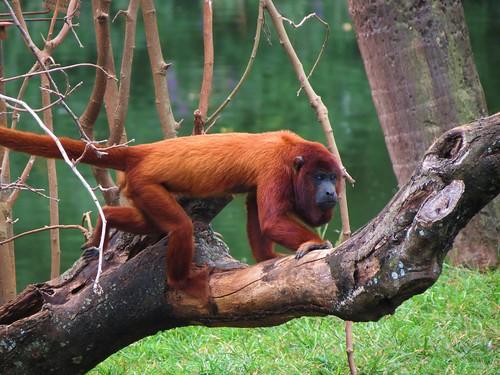 Red howler monkey; bugio-vermelho (Alouatta seniculus)