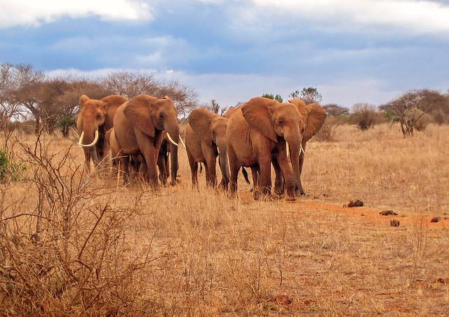 African Elephants - Tsavo East National Park, Kenya