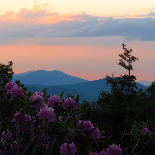 sunset landscape northcarolina rhododendron ericaceae blueridgeparkway westernnorthcarolina rhododendroncatawbiense catawbarhododendron southernappalachians mountjeffersonoverlook canonpowershotsx40hs