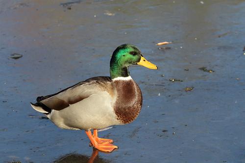 park bird duck mallard waterfowl washingtonstate yakimawashington fantasticnature
