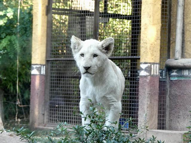 Weißer Löwe, Zoo d´Amneville