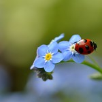 Ladybug on Forget-me-not