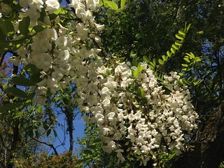 Robinia pseudoacacia (Black Locust) | by Mrs. Gemstone