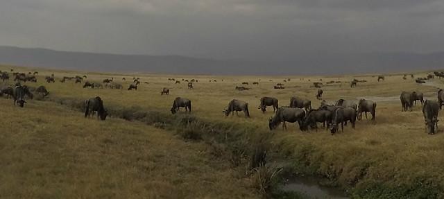 Ngorongoro Crater Wildebeest