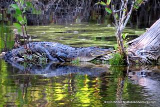 Undulating alligator at Six Mile Cypress | by Erin *~*~*