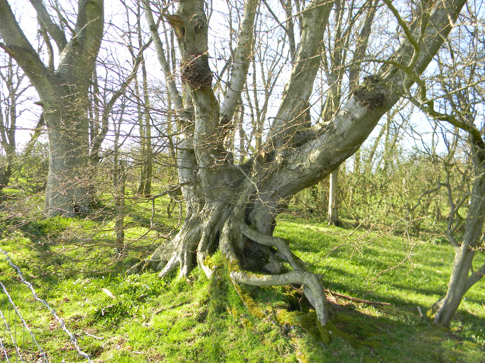 Gnarled tree with moss Robertsbridge to Battle
